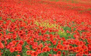 "Throughout the play, ""red poppies crops up repeatedly as a symbol of impending death. They are often being handed to a soldier who is being sent to die"""